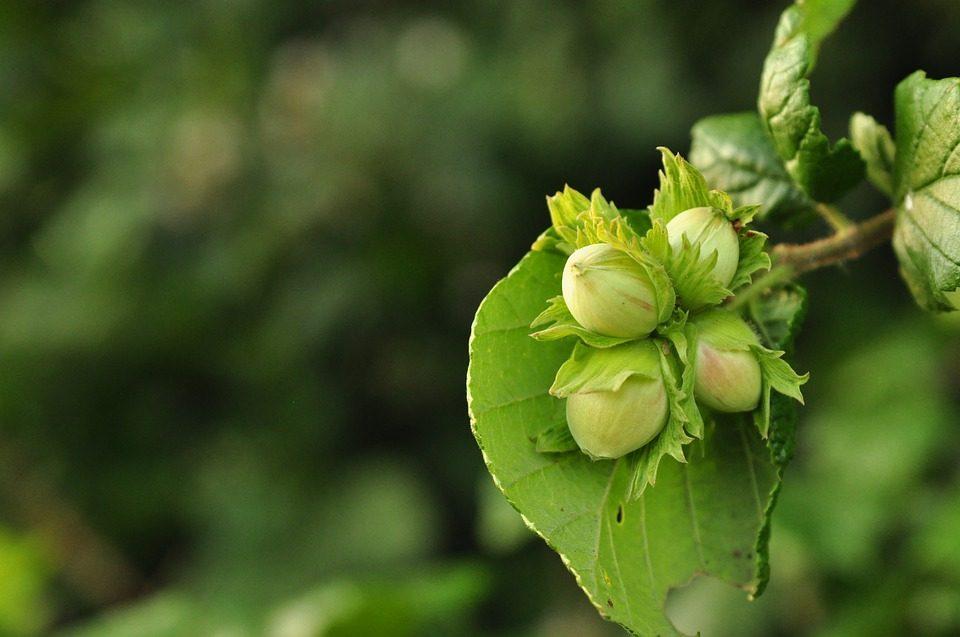 Φουντουκέλαιο (Corylus Avellana)