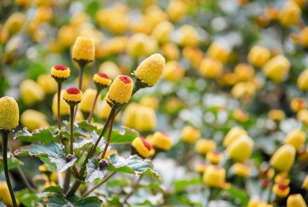 Acmella Oleracea εκχύλισμα (Spilanthes)