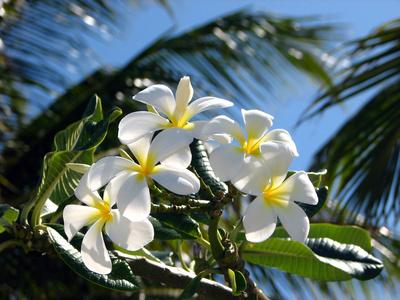 Butter Monoi (Gardenia Tahitensis)